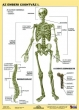 STIEFEL tanulói munkalap, A4 fűzhető, törölhető, Az emberi csontváz