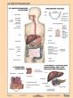 STIEFEL tanulói munkalap, A4, Az emésztőrendszer